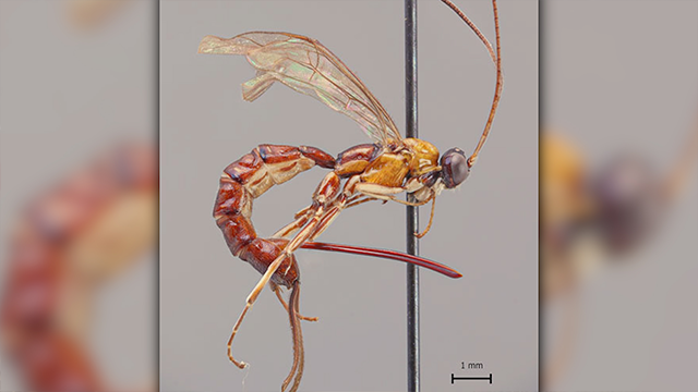 A new wasp species unknown to science differs from other parasitoid wasps due to its massive stinger. The new species named Clistopyga crassicaudata was discovered in the western Amazonia. (University of Turku/CNN)