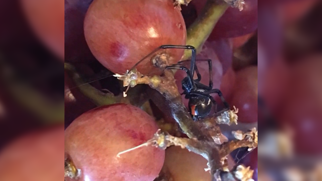 Omaha woman finds two black widow spiders in bag of grapes