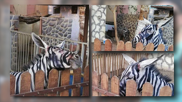 Zoo paints black stripes onto donkeys to make them look like zebras!