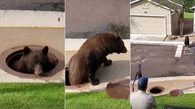 Bear caught in storm drain freed when manhole cover lifted class=
