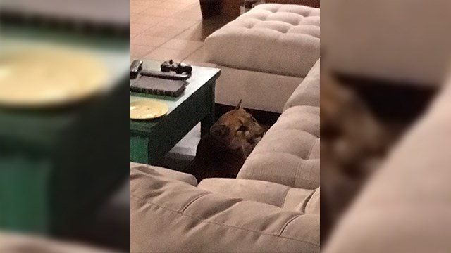 A mountain lion sits next to a couch inside a Boulder, Colorado home Aug. 10. Police say the homeowner returned and found the mountain lion inside. (Boulder Police Department via AP)