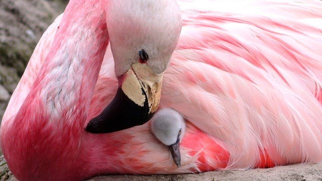 An Andean flamingo looks after a surrogate Chilean flamingo chick, supplanted to replace its own infertile egg, in Slimbridge, England. High temperatures encouraged a rare flock to lay eggs for the first time since 2003. (Wildfowl & Wetlands Trust via AP)