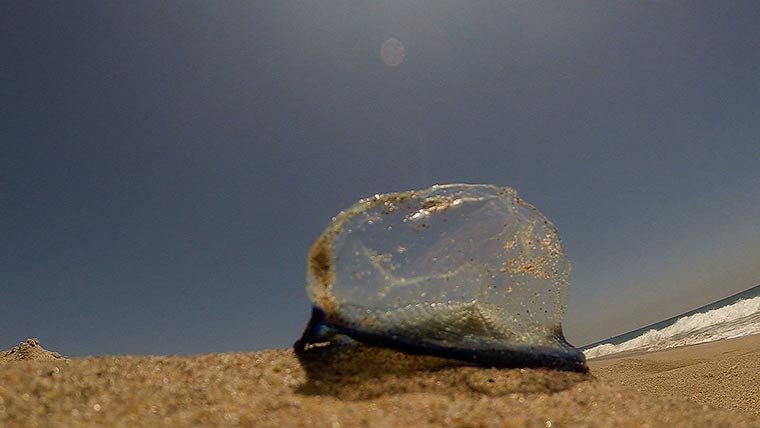 """""""The scientific name is Velella velella,"""" said David Bader, director of education at the Aquarium of the Pacific in Long Beach, California. """"They're jelly-like creatures, but they're not exactly jellyfish."""""""