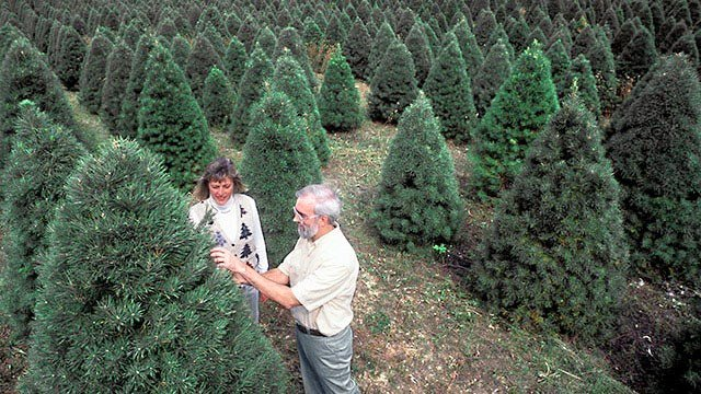 if youre planning on buying a real christmas tree this year be prepared to pay extra prices are expected to be high due to an unprecedented shortage of - Real Christmas Tree Prices