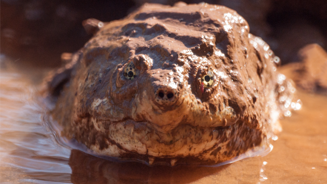 A closeup portrait of an american alligator snapping turtle, hiding in in muddy water. (Getty Images)