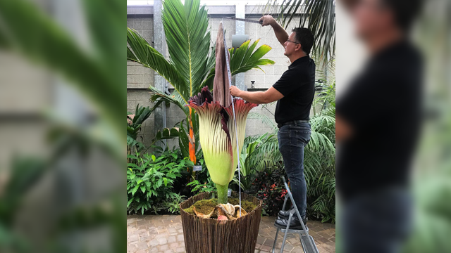 Head Curator Dan of the Nicholas Conservatory & Gardens measures Grimace the corpse flower at 80 inches tall Friday morning. (Nicholas Conservatory & Gardens/Facebook)
